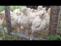 Otet pus în apa gainilor si puilor - beneficii - YouTube Petunias, Animals And Pets, Backyard, Youtube, Cottages, Studio, Lawn And Garden, Pets, Patio