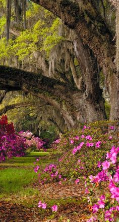 Azaleas at the Magnolia Plantation and Gardens in Charleston, South Carolina