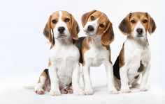 The one in the middle gets the treats! #dogs #pets #Beagles facebook.com/sodoggonefunny