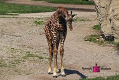 """Hello World"" giraffe, nature, animal- Toledo Zoo"