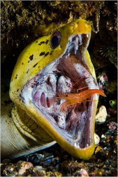 Cleaner shrimp/moray eel