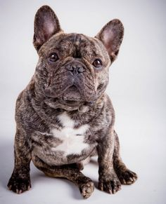 Handsome Boy, Brindle French Bulldog