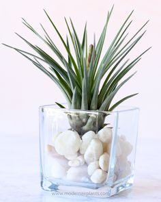 Use glass to design your own soothing AIR PLANT displays. - Use glass to design your own soothing AIR PLANT displays. Succulents Garden, Garden Plants, Indoor Plants, Indoor Herbs, Moss Garden, Succulent Planters, Hanging Planters, Cactus Plants, Air Plants Care