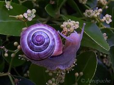 caracol morado unusual-colored-animals-91__700