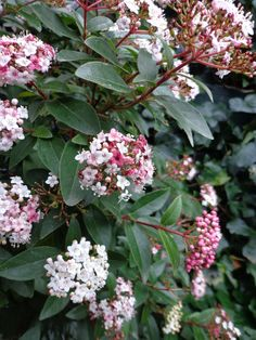 Evergreen. Check if it likes cold winter. Viburnum tinus (Laurestine) in full bloom.