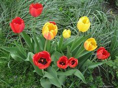 Tulipán zahradní -Tulipa hybridum