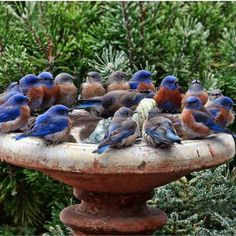A bird bath full of Bluebirds! Kinds Of Birds, All Birds, Little Birds, Love Birds, Angry Birds, Pretty Birds, Beautiful Birds, Animals Beautiful, Animals And Pets