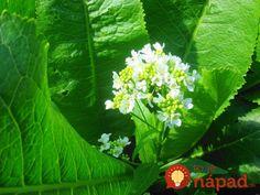 Táto rastlina kedysi nechýbala v žiadnej záhrade: Mali by ste vedieť, čo dokáže s vašou úrodou aj zdravým!