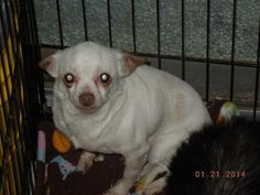 URGENT! SPONSORS OR DOPTER NEEDED FOR 'LEMON DROP'*Puppy Mill Survivor* *Chihuahua • Adult • Female • Small Loved me, But left me... Animal Rescue Leslie, AR  I will begin by letting you know Lemon drop's story and why we are looking for sponsors to help her. We are listing Lemon drop as a courtesy for a severely crowded, severely underfunded animal shelter in rural Arkansas. Lemon drop spent many of her...