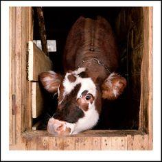 A cow named Jaime - Photo by Rob MacInnis