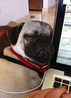 Adorable Pugs need their beauty sleep. Now it's time for us to take a look at something that will make us all smile…Pugs sleeping in hilarious positions. Animals And Pets, Baby Animals, Cute Animals, Fu Dog, Dog Cat, Pug Mug, Pugs And Kisses, Pug Pictures, Dog Photos
