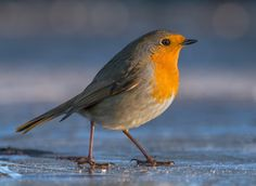 Robin - A robin standing on ice