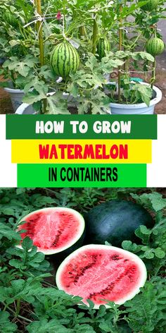 34 DIY Container Gardening Ideas - Container Gardening Ideas – Grow Watermelon in Containers – Easy Garden Projects for Containers - Fruit Garden, Edible Garden, Easy Garden, Watermelon Plant, How To Grow Watermelon, Growing Watermelon From Seed, How To Grow Cucumbers, Sugar Baby Watermelon, Container Gardening