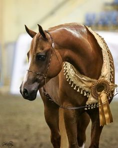 The 2016 East Coast Arabian Championships     The Arabian Magazine - The Worldwide Publication for the Arabian Horse Enthusiast