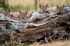 THE Iberian Lynx, wi