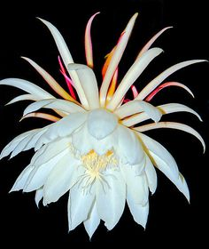 "Night Blooming Cereus by Frank Bibbins.  This is the most fantastic blooming houseplant.  The flowers are 6""- 8"" in diameter, intoxicatingly fragrant and each blooms for just one night.  A WOW plant !!!!"