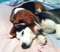 basset hound friend