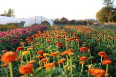 Succession Planting: How To Keep The Harvest Going All Season Long – Floret Flowers – Gardening for beginners and gardening ideas tips kids Types Of Flowers, Cut Flowers, Farm Gardens, Outdoor Gardens, Modern Gardens, Japanese Gardens, Cottage Gardens, Small Gardens, Formal Garden Design