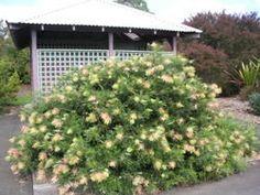 Front yard: GPC - Grevillea 'Peaches  Cream'