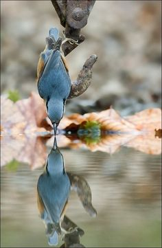 Nuthatch reflection by mark hancox #Birds
