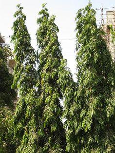 Herbal Plants, Medicinal Herbs, Mindanao, All Plants, Alternative Medicine, Philippines, Herbalism, Flora, Butterfly