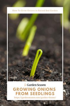 How To Grow Onions From Seedlings In Your Raised Bed Garden | When the seedlings are ready, make holes in your prepared raised bed garden and plant your onion seedlings 4 inches apart on rows. Space your rows 6 to 12 inches away from each other, depending on your raised garden's size. Easy Garden, Edible Garden, Raised Garden Beds, Raised Beds, Planting Onions, Growing Onions, Easy Vegetables To Grow, Garden Theme, Garden Projects