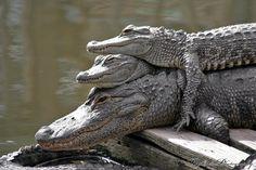 Gator Stack by RaylenesPhotography