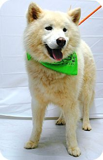 1/9/15 Woodlyn, PA - Samoyed Mix. Meet Apollo, a dog for adoption. http://www.adoptapet.com/pet/12225634-woodlyn-pennsylvania-samoyed-mix