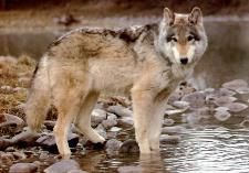 Gray Wolf  Saw a wolf in MT, but it was black - with a collar.