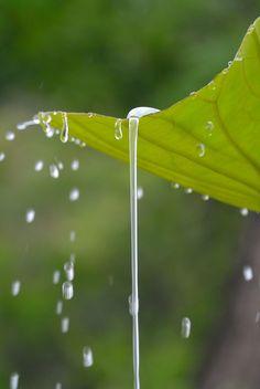 Lotus leaf (SANKEIEN GARDEN) (by yamabuki***)