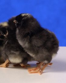 day old Barred Rock chicks
