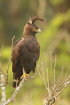 Long-crested Eagle Lophaetus occipitalis Langkuifarend - by Chris Krog