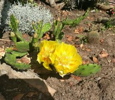 Prickly Pear flowering in our garden