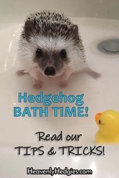 Hedgehog bath time can be a great bonding opportunity! Read our tips & tricks to make it a great experience for you both . Hedgehog Bath, Pygmy Hedgehog, Cute Hedgehog, Hedgehogs Pet Care, Hedgehog Accessories, Homemade Cat Toys, Guinea Pig Toys, Secret Life Of Pets, Pet Care Tips