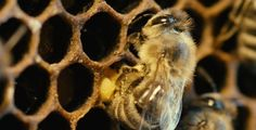"""""""More Than Honey"""" - DVD-Tipp - Der Dokumentarfilm zeigt die Gründe für das Massensterben der Honigbiene auf und beschäftigt sich mit den Konsequenzen für den Menschen."""