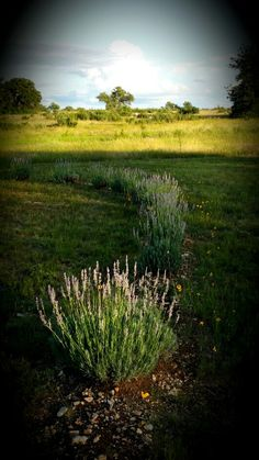 Imagine Lavender Farm at sunset June 27th 2014
