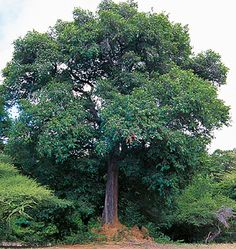 African ebony - Diospyrus crassiflora (Southern Nigeria, Ghana, Cameroon and Zaire)