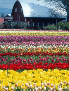 Tulips in Skagit Valley ... by William Sutton