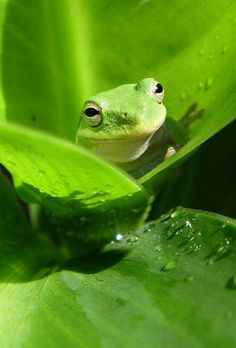 Rana verde, mirando a los lectores con ojos de espabilada atacante