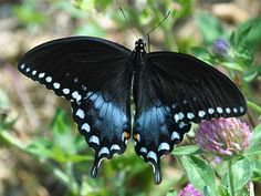 Butterflies - The Spicebush Swallowtail prefers marshes, bogs, swamps and agricultural areas for its prime habitats. Sadly, such places are often subjected to development or suffer from an intensive use of herbicides and pesticides.