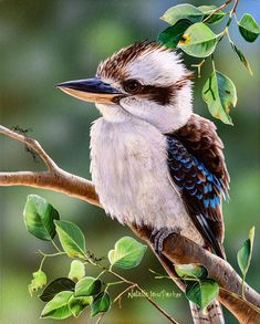 Laughing Kookaburra (Dacelo novaeguineae) on a gum tree. Original painting size : 20 x acrylic on clayboard. Beautiful Birds, Animals Beautiful, Cute Animals, Australia Animals, Australian Birds, Guache, Wild Life, Fauna, Wildlife Art