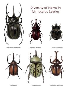 Rhino Beetles by bigredsharks on DeviantArt Rhino Beetle, Beetle Insect, Insect Art, Frog Illustration, Science Illustration, Illustration Fashion, Weird Insects, Bugs And Insects, Beetle Drawing