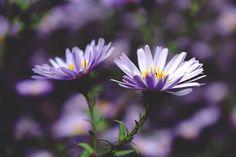 Fleurs, Fleur, Pourpre, Nature, Plantes, Fermer