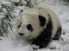 Baby panda...my birthday is coming up ya'll...*wink *wink* ;)