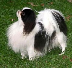 The Japanese Chin is a cat stuck in a dog's body. They are alert, intelligent and independent. They use their paws to wipe down their face and given it a wash from time to time. They like resting on the backs of high couches and sofas. They are also able to walk across the coffee table without disturbing a single item. The Japanese Chin's coat is low-maintenance, soft and silky. They are loving, loyal and happy to see other people.   Their weight can range from 3 pounds to 15 pounds.  NOT…