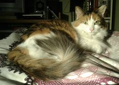 """""""Coquette"""" a Norwegian Forest Cat Norwegian Forest Cat, Beautiful Cats, Animals, Pretty Cats, Animales, Animaux, Animal, Animais"""