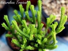 NATURALEZA TROPICAL nos cuenta todo sobre una de las plantas crasas más peculiares.