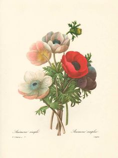 Vintage Botanical Print, Art Illustration, Wall Decor, Redoute, Anemone simple. $12.00, via Etsy.