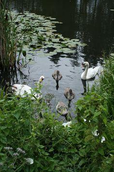 Swans and svæklinger :-)