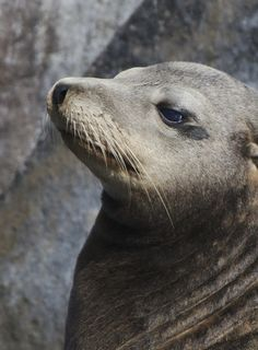 Relaxed Sea Lion by Lenny Hbt - La Paz, Baja California Sur, Mexico